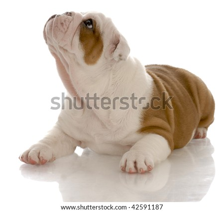 red and white english bulldog puppy laying down looking up - seven weeks old - stock photo