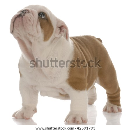 red and white english bulldog puppy standing looking up - seven weeks old - stock photo