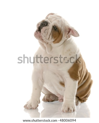 red and white english bulldog puppy with adorable expression - stock photo