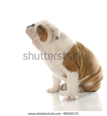 red and white english bulldog puppy with cute expression with reflection on white background