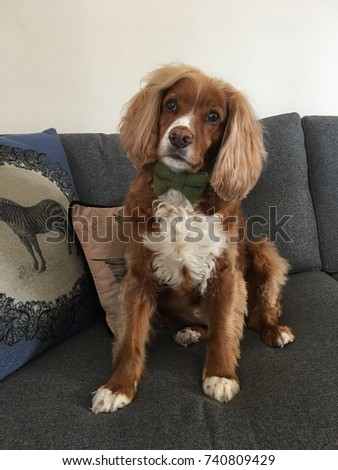 red and white english working cocker spaniel cute dog in a bow tie on a couch