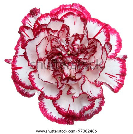 Red and White Flower Isolated on White Background. Isolated Carnation Flower - stock photo