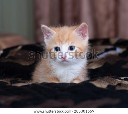 Red and white fluffy kitten lies on black bed - stock photo
