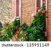 Red and white geranium flowers at house wall - stock photo