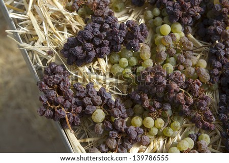 Red and white grapes drying to be made into dessert wine. - stock photo