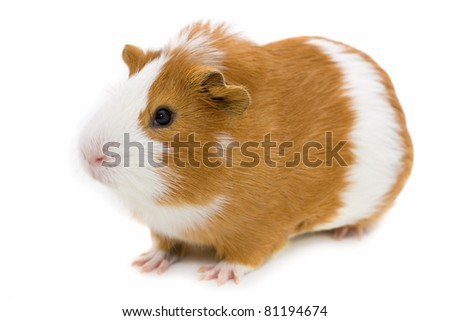 red and white guinea pig isolated on white - stock photo