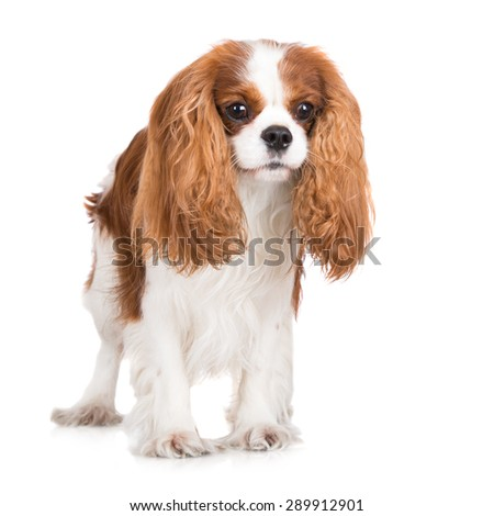 red and white king charles spaniel dog standing on white - stock photo