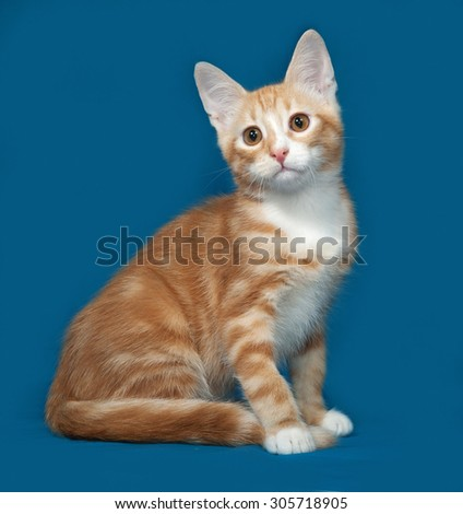 Red and white kitten sitting on blue background