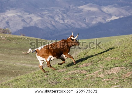 Red and White Longhorn Bull runs up a green hill in scenic Santa Ynez, California  - stock photo