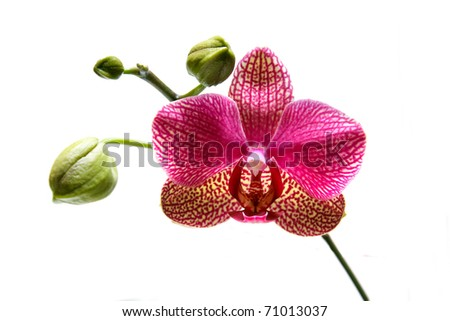 red and white orchid flower - stock photo