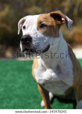 Red and White Pitbull posing for her picture - stock photo