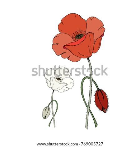 Red white poppy flower poppy bud stock illustration 769005727 red and white poppy flower and poppy bud isolated on white background mightylinksfo
