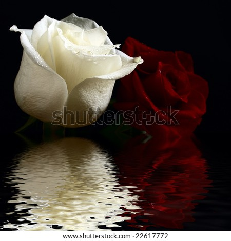 red and white roses with water drop flooding in water - stock photo