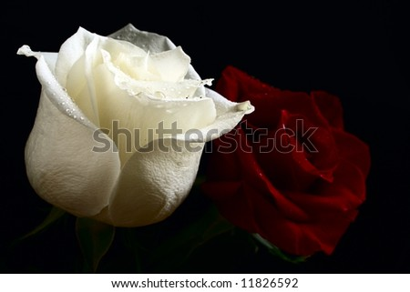 red and white roses with water drop on black background - stock photo