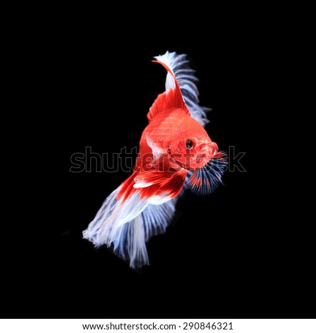 Red and white siamese fighting fish half moon , betta fish isolated on black background.