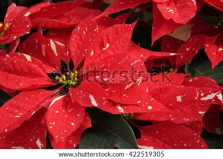 Red and White Speckled Poinsettias for Christmas Decorations - stock photo