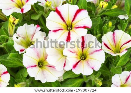 Red white trailing petunia flowers stock photo edit now 199807724 red and white trailing petunia flowers mightylinksfo