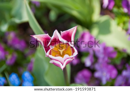 red and white tulip - stock photo