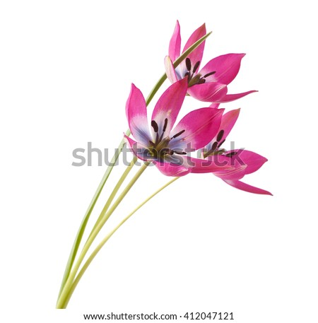 Red and White Tulip Isolated on White Background ( Tulip Tarda ) - stock photo