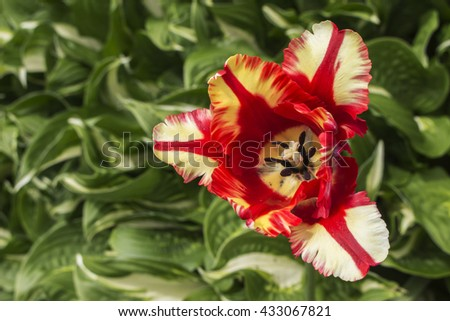Red and white tulip, with a background of hosta leaves. - stock photo