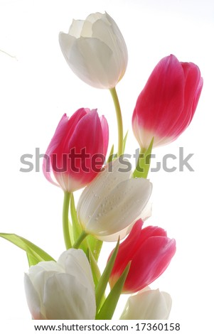 red and white tulips - stock photo