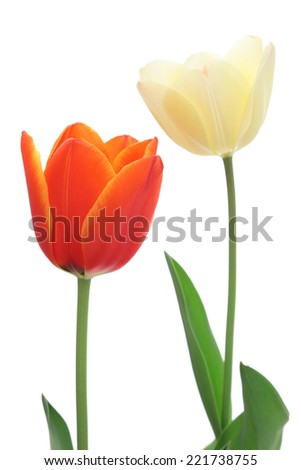 Red and white tulips isolated on white background   - stock photo