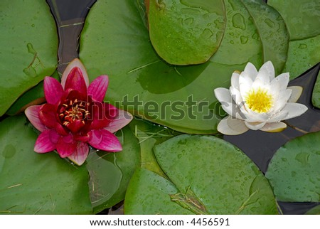 Red and white water lilly in the pond - stock photo