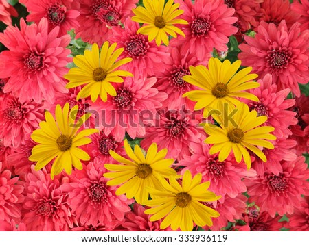 Red and yellow aster flowers background         - stock photo