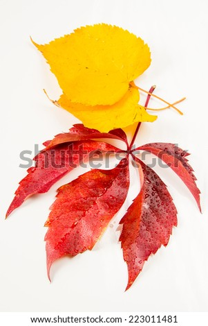 Red and yellow autumn leaf isolated on white background - stock photo