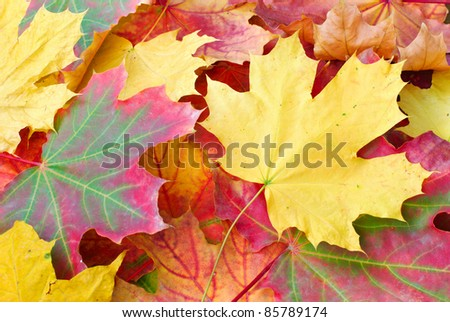 Red and yellow autumn maple leaves - stock photo