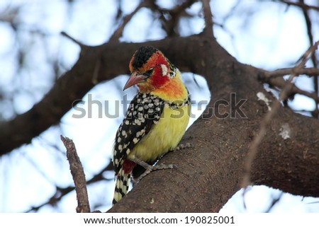 red-and-yellow barbet on a branch looking down - stock photo