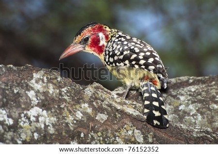 Red-and-yellow barbet (Trachyphonus erythrocephalus) - stock photo