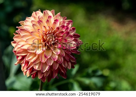 Red and yellow Dahlia on a green background, with copy space - stock photo