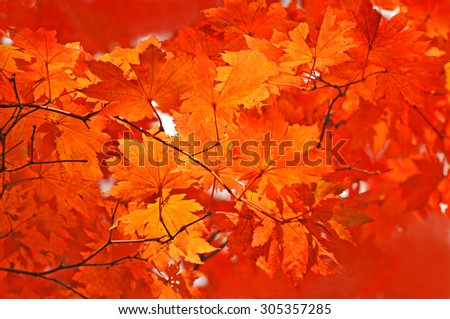 red and yellow fallen maple leaves natural background - stock photo