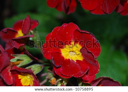 Red and Yellow Flower - stock photo