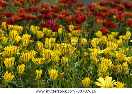 Red and yellow flowers packed tightly together. - stock photo