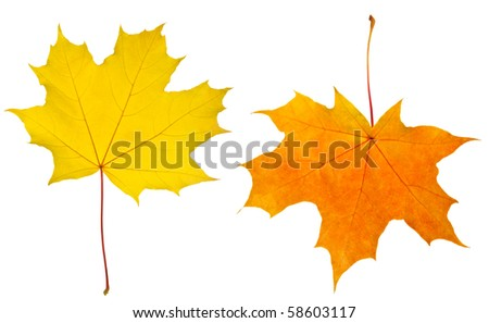 red and yellow maple leaves isolated on a white - stock photo
