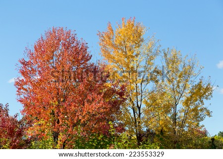 Red and Yellow Maple Trees in the fall