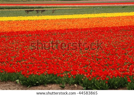 Red and yellow tulip fields in Holland in the spring