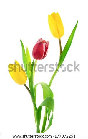 Red and yellow tulips isolated on white background.