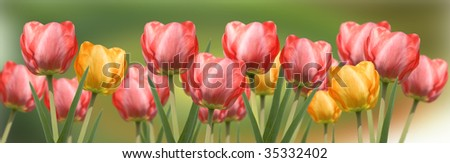 Red and yellow tulips panorama