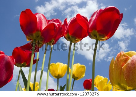 Red and yellow tulips with sunny sky in background