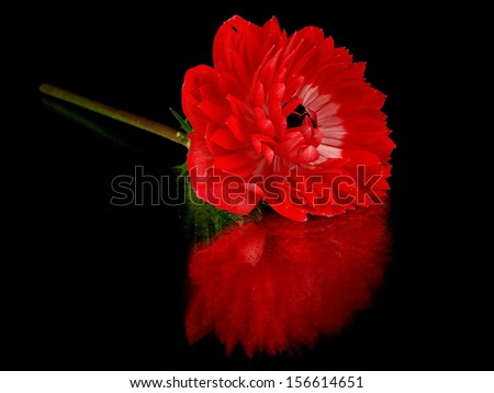 Red anemone flower on a black background with water drop