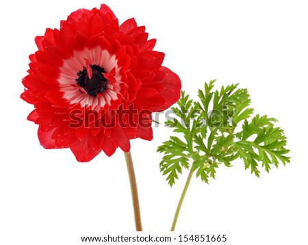 Red anemone flower on a white background      - stock photo