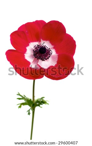 red anemone (wind-flower) isolated over white - stock photo