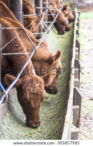 Red angus Cattle in confinement in Brazil - stock photo