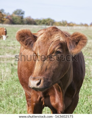 Red Angus Cow - stock photo
