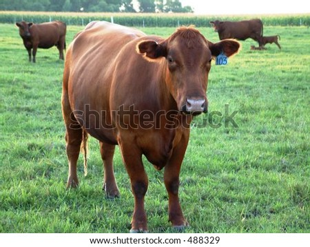 Red Angus Cow with Herd - stock photo