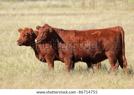 Red angus cows on pasture - stock photo