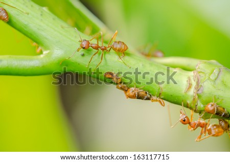 Red ant and aphid on the leaf in the nature